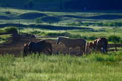 Pasture Horses,Dawn Royalty Free Stock Photo