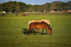 Pasture Horses,Dawn Royalty Free Stock Images