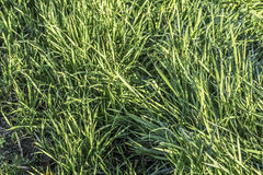 Pasture Imbued With Sunlight. Photograph of pasture with blades of grass imbued with the late afternoon sunlight Royalty Free Stock Photos