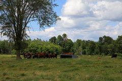 Pasture land and beef cattle Stock Photo