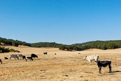 Pasture Landscape with Cows Royalty Free Stock Photography