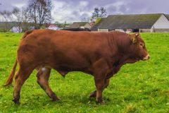Bull of Simmental breed brown. stock photography