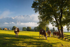 On pasture in the morning mist Royalty Free Stock Photos