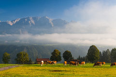On pasture in the morning mist Stock Image