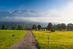 On pasture in the morning mist Royalty Free Stock Photography
