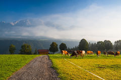 On pasture in the morning mist Royalty Free Stock Image