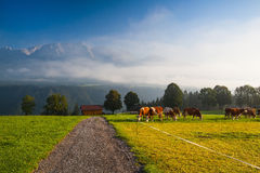 On pasture in the morning mist Stock Images