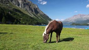 On the pasture near the Lake Sils. stock video