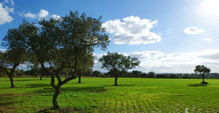 Pasture of oaks and green meadow with blue sky splashed with clouds Stock Image
