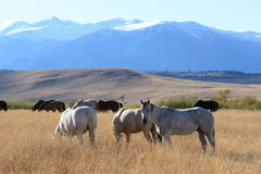 Pasture of Plenty. Ranch horses grazing on a Montana ranch in the late autumn sunshine. The Absaroka-Beartooth Mountains are in the background Stock Photos
