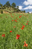 Pasture and poppies. Poppies in green grass and forest fund in Maestrazgo Stock Image