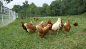 Pasture raised chickens Royalty Free Stock Photos