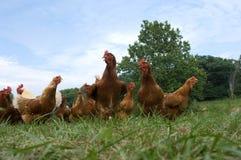 Pasture raised chickens Royalty Free Stock Photo