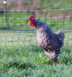Pasture raised chickens Royalty Free Stock Image