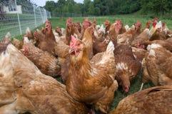 Pasture raised chickens feeding Stock Images