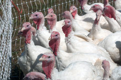 Pasture raised turkeys Royalty Free Stock Images