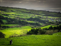 Pasture in Sao Miguel Stock Image