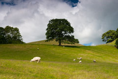 On the pasture in Sedbergh Royalty Free Stock Photo