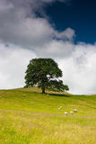On the pasture in Sedbergh Royalty Free Stock Images