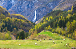 Pasture with sheep and beautiful waterfall Stock Photo