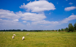 Pasture with sheep and clouds. Pasture with grazing sheep and cloudy blue sky Royalty Free Stock Photography