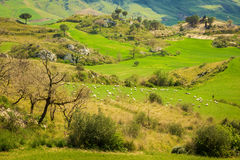 Pasture with sheeps herd Stock Photos