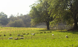 Pasture with sheeps Royalty Free Stock Photography