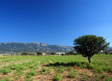 Pasture with sinle olive tree Stock Images