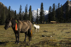 Pasture and summer residence of the nomads of Kham, Tibet. Dorphu Valley , place of summer transhumance for the Kham nomads , high mountain, pastures, horses Stock Photos
