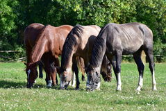 Pasture time Royalty Free Stock Image