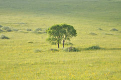 The pasture tree in golden sunshine Stock Photo