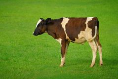 Small cow on green meadow