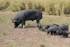 Berkshire Pig On An Organic Pig Farm. Pastured grass fed pig for local food production on an organic farm using rotational grazing to repair the soil and provide Royalty Free Stock Photo