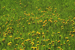 Pastureland with flowers 01. Say it with flowers - meadow with yellow petals Royalty Free Stock Photos