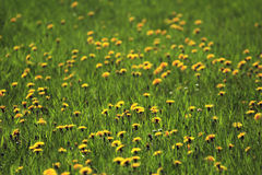 Pastureland with flowers 02. Say it with flowers - meadow with yellow petals Royalty Free Stock Image