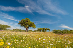 Pastures in Extremadura, Spain. Many oak trees and blue sky Stock Images