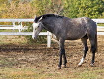 Pastures of horse farms Royalty Free Stock Photography