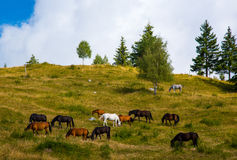 Pastures and horses Stock Image