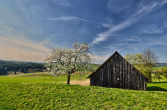 Pastures with huts. Blossoming cherry tree in solitude on pastures Royalty Free Stock Photo