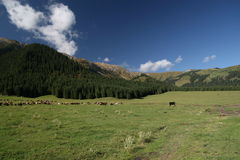 Pastures in the mountains. Herds of cows and sheeps on pastures Stock Photo
