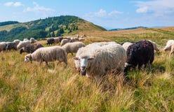 On pastures near mountain peaks Hutsul shepherds herding sheep Royalty Free Stock Image