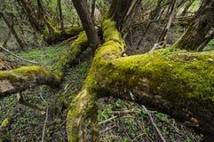 Pastures (Salix) Royalty Free Stock Image