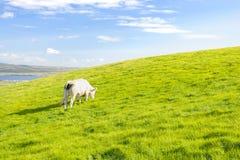 Pasturing коровы Стоковая Фотография RF