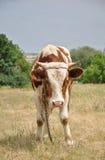 Pasturing Bull Stock Images
