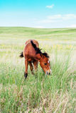 Pasturing colt in the countryside. Foal on the background of the picturesque landscape Stock Images