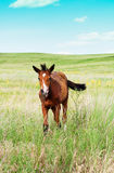 Pasturing colt in the countryside. Foal on the background of the picturesque landscape Royalty Free Stock Images