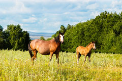 Pasturing colt and horse in the countryside. Horse and foal on the background of the picturesque landscape Royalty Free Stock Images