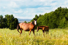 Pasturing colt and horse in the countryside. Horse and foal on the background of the picturesque landscape Royalty Free Stock Photo