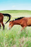 Pasturing colt and horse in the countryside. Humorous image of a horse with a colt in the countryside Royalty Free Stock Images