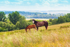 Pasturing colt and horse in the countryside. Stallion and foal on the background of the picturesque landscape Stock Photos